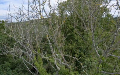 Ash Dieback and risks