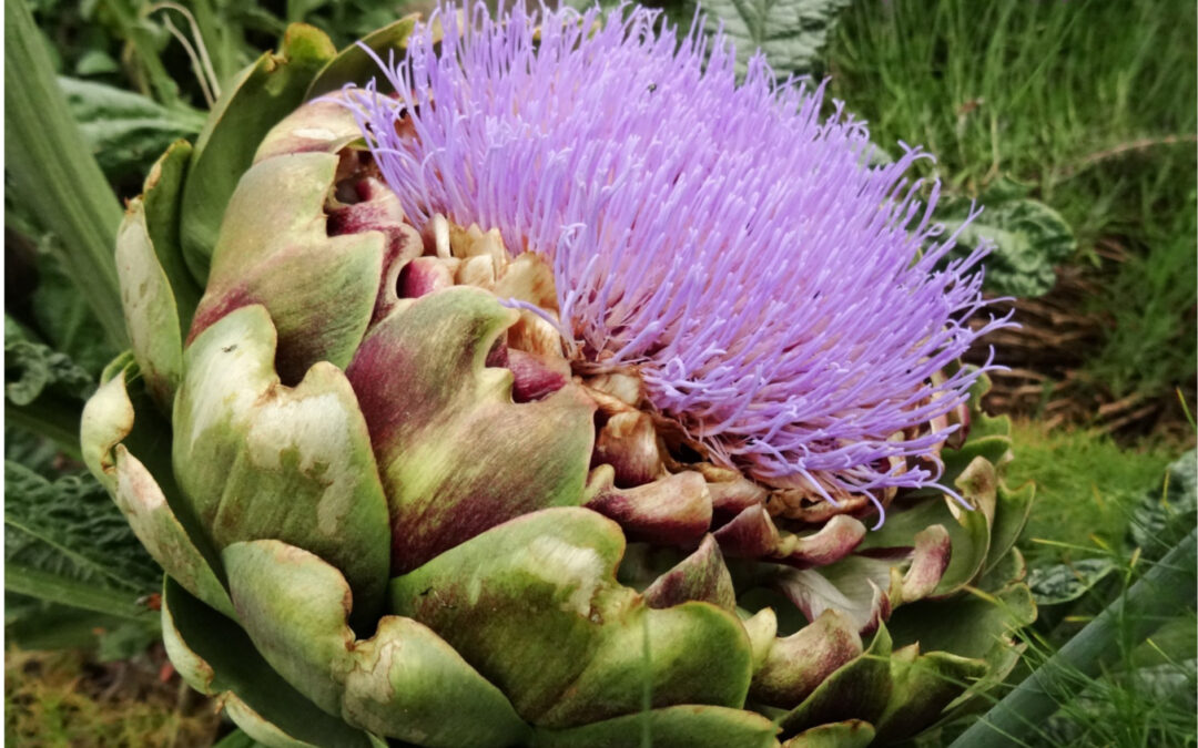 Two cousins: artichoke and cardoon